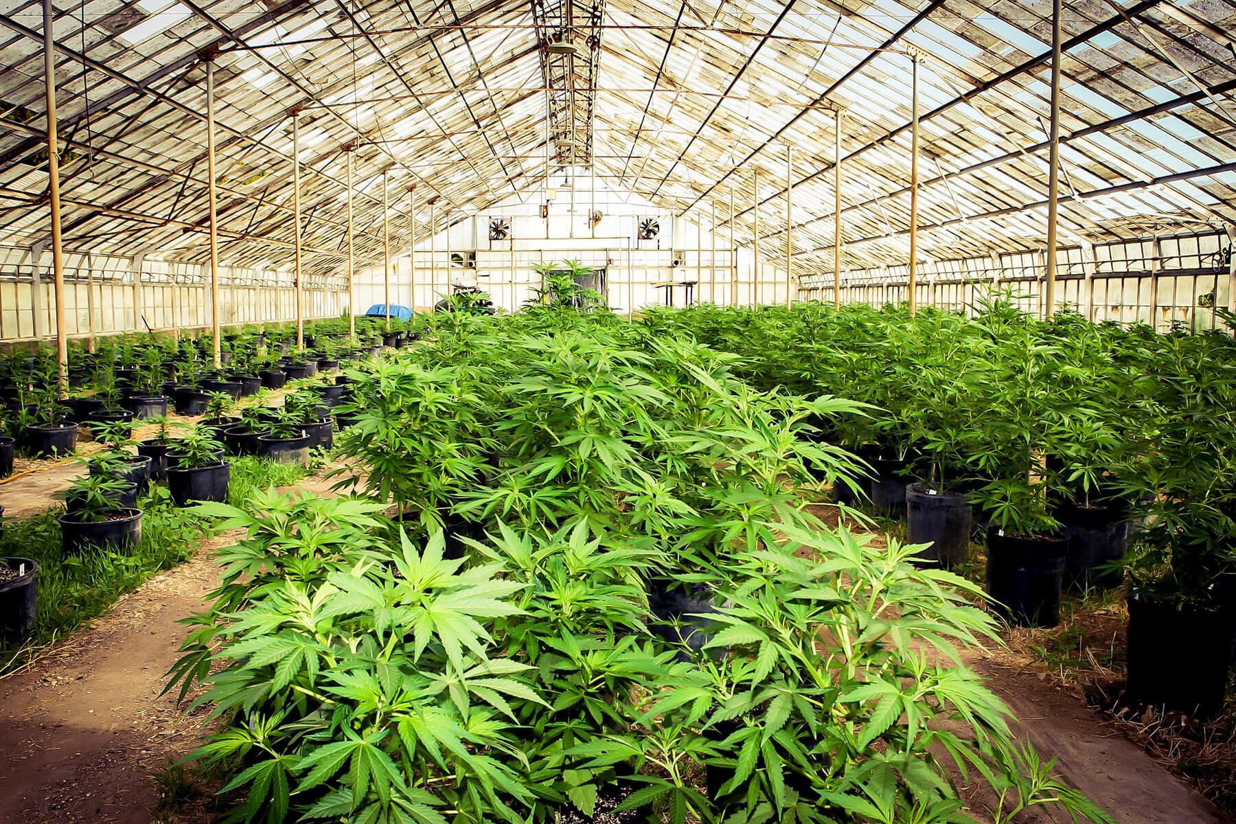 Ферма марихуаны