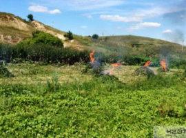 сбу уничтожила 50000 кустов конопли