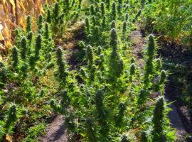 подготовить место к выращиванию конопли