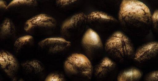 бесплатные семена конопли