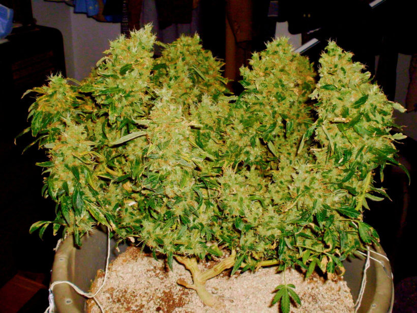 Обрезка нижних листьев конопли содержание следов марихуаны в крови