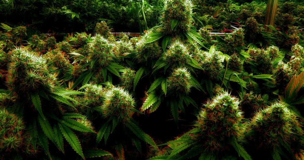 Урожайные сорта марихуаны