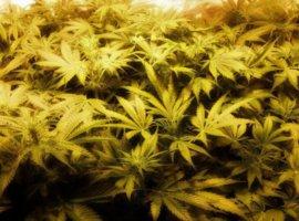 Выбор лампы для выращивания марихуаны