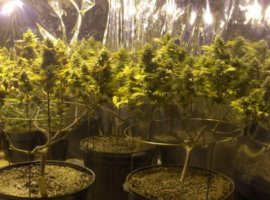 Видео грова марихуаны