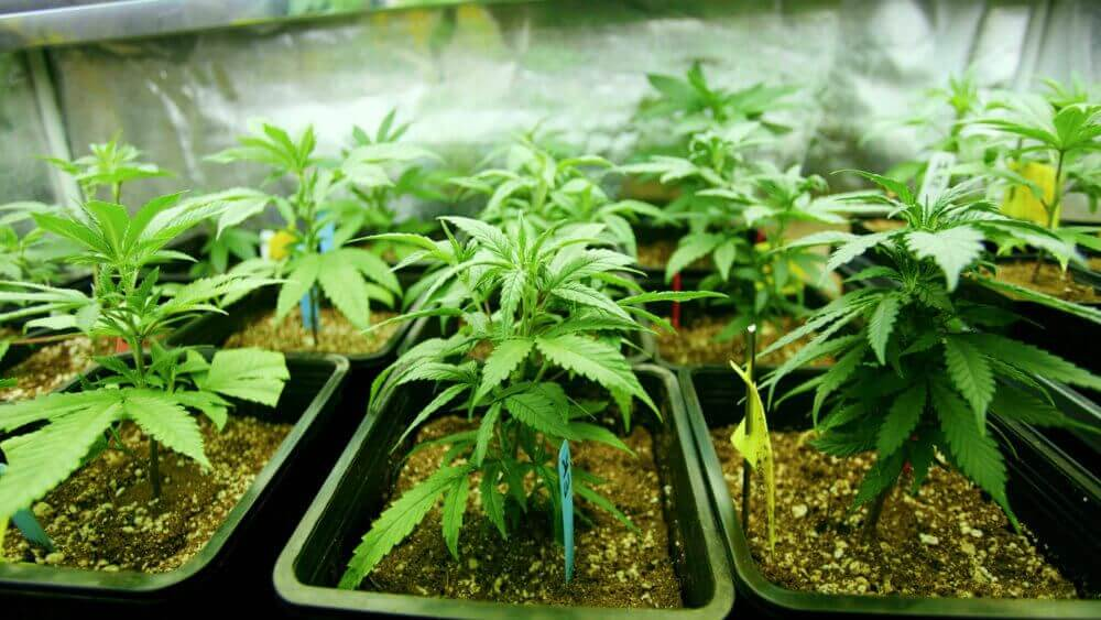 Как выбрать сорт конопли марихуана и холестерин