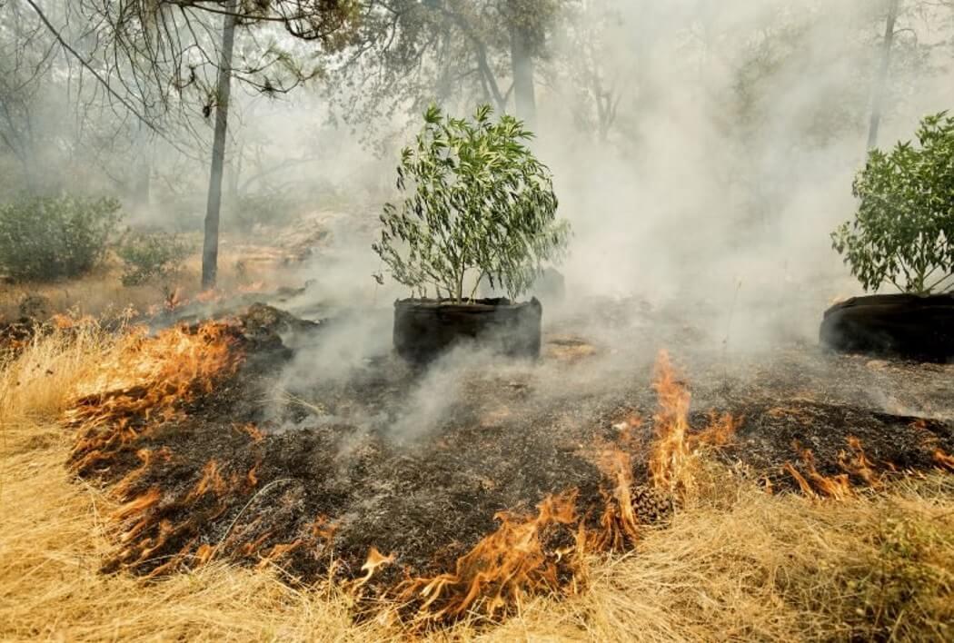 плантации марихуаны в Калифорнии горят