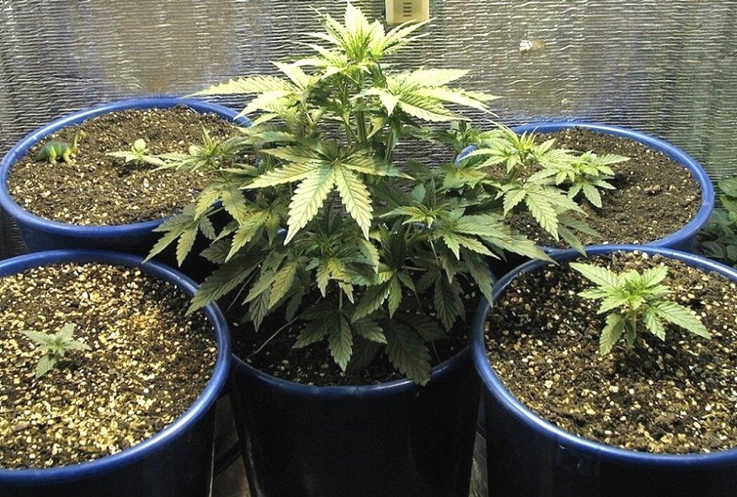 Проращиваем марихуану через сколько можно собирать коноплю