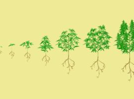 как растёт конопля