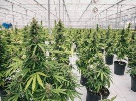 медицинская марихуана греция