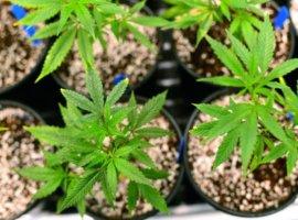 Чем удобрять коноплю из того что есть дома происхождение марихуана