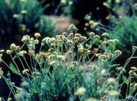 каучуконосные растения