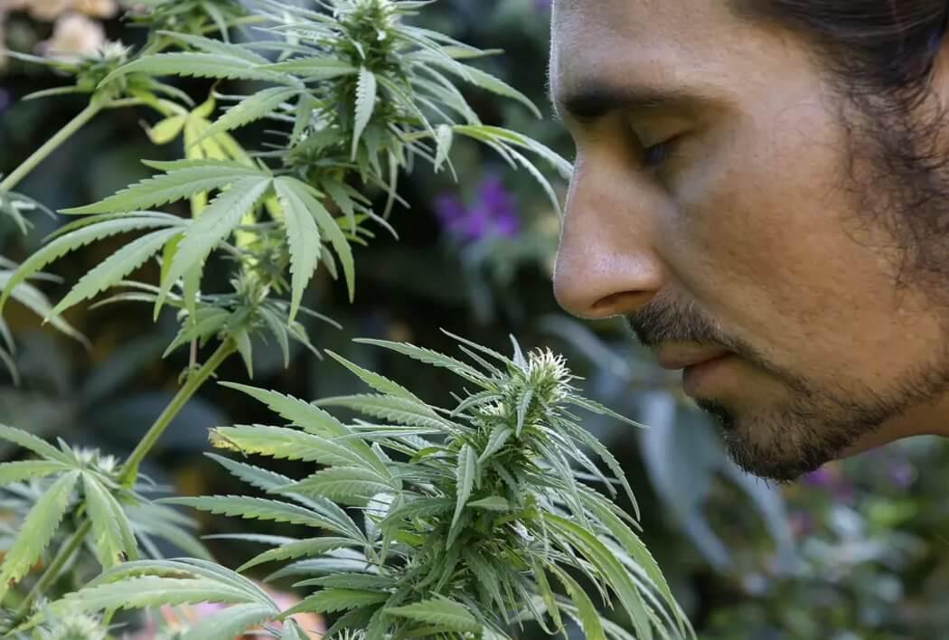 выращивание конопли запах