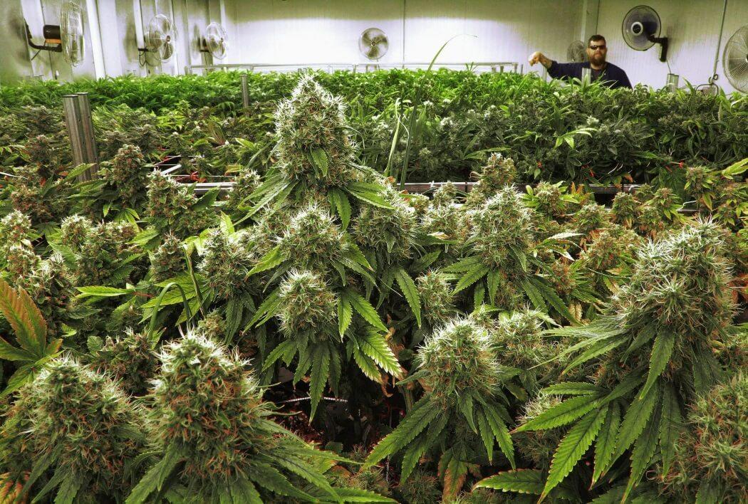 Стресс для конопли когда собирают урожай марихуаны