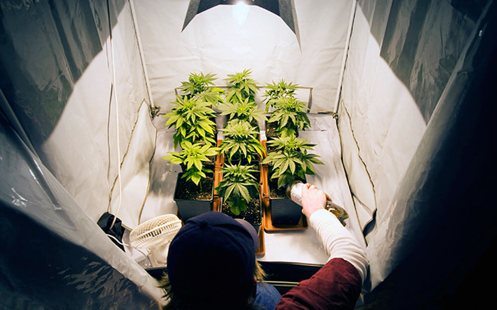Вырастить марихуану самому условный срок за марихуану