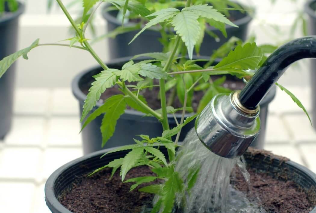 Зачем выращивать коноплю расположение конопли