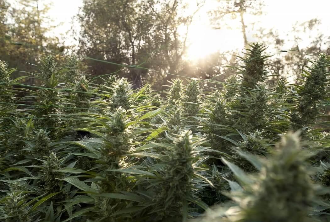 Сорта марихуаны для аутдора сорт конопли сканка