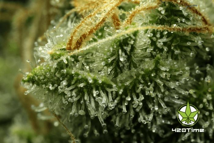 Трихомы марихуаны
