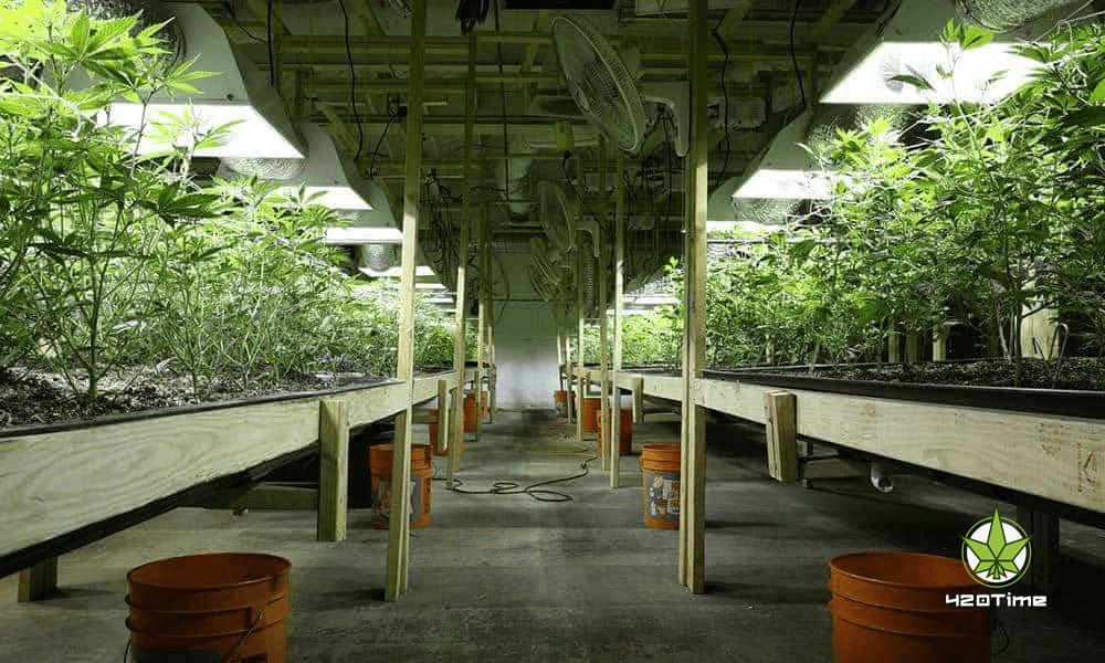 Сорта травки для индора