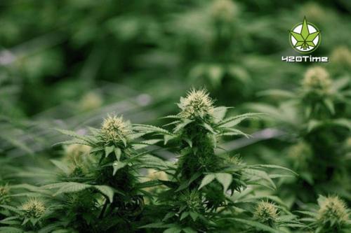 Органическая марихуана