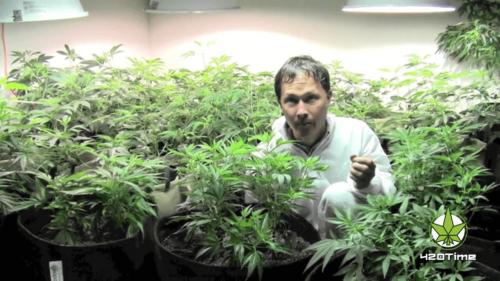 Как правильно выращивать натуральную коноплю