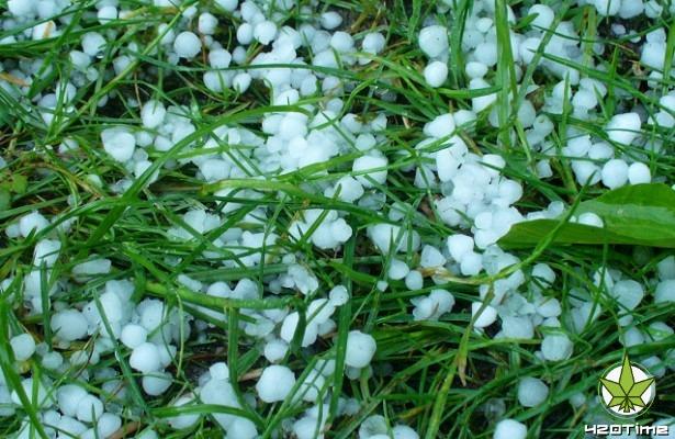 Что делать при заморозках, граде, выращивая коноплю