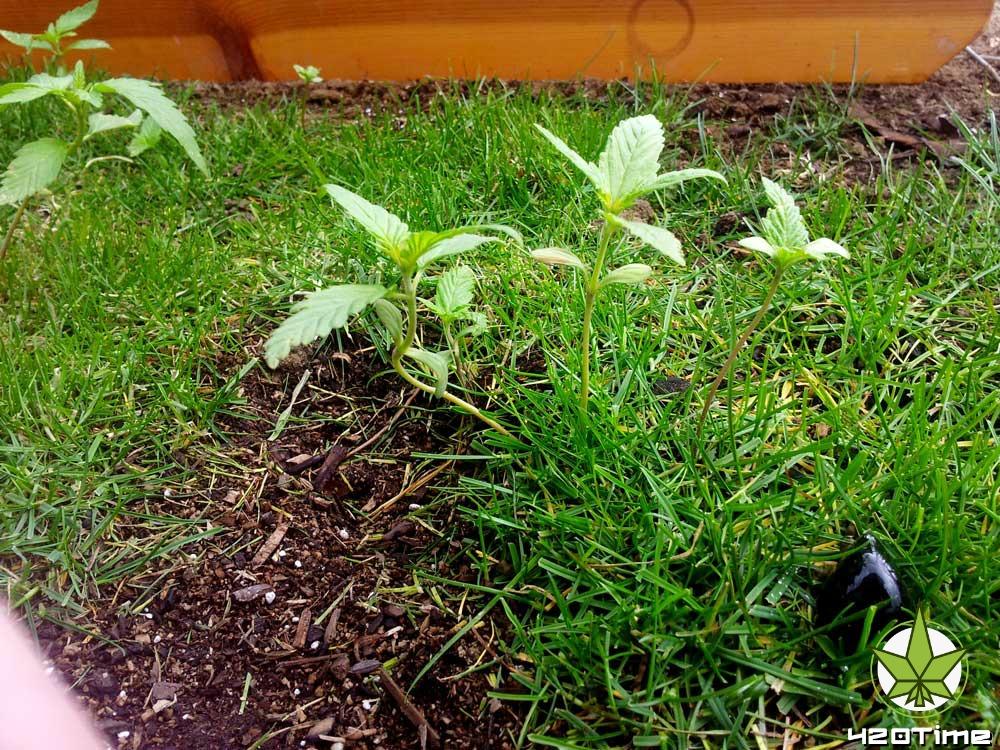 Как бороться с сорняками в аутдоре при выращивании конопли