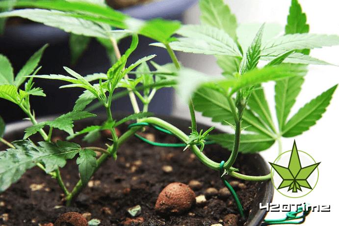 Плюсы и минусы выращивания конопли в земле
