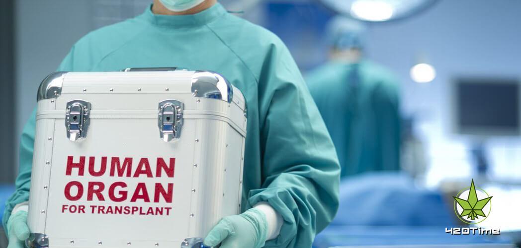 Пересадка органов недоступна поклонникам канабиса