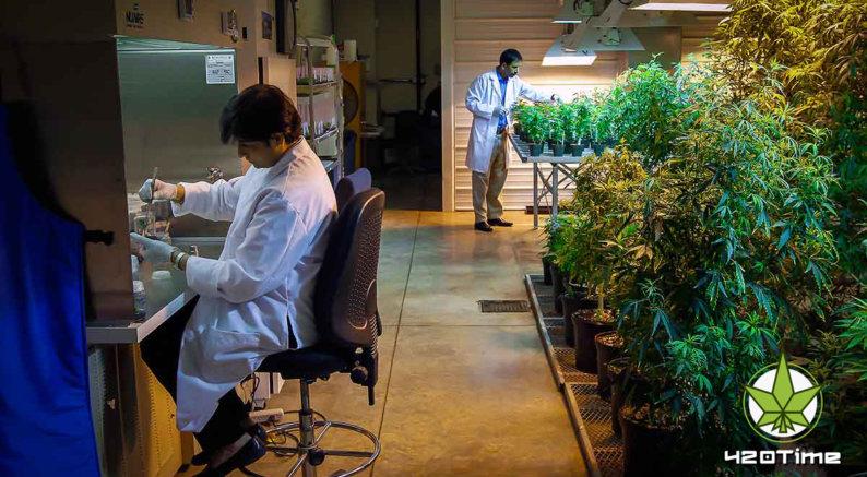Ученые США исследуют марихуану