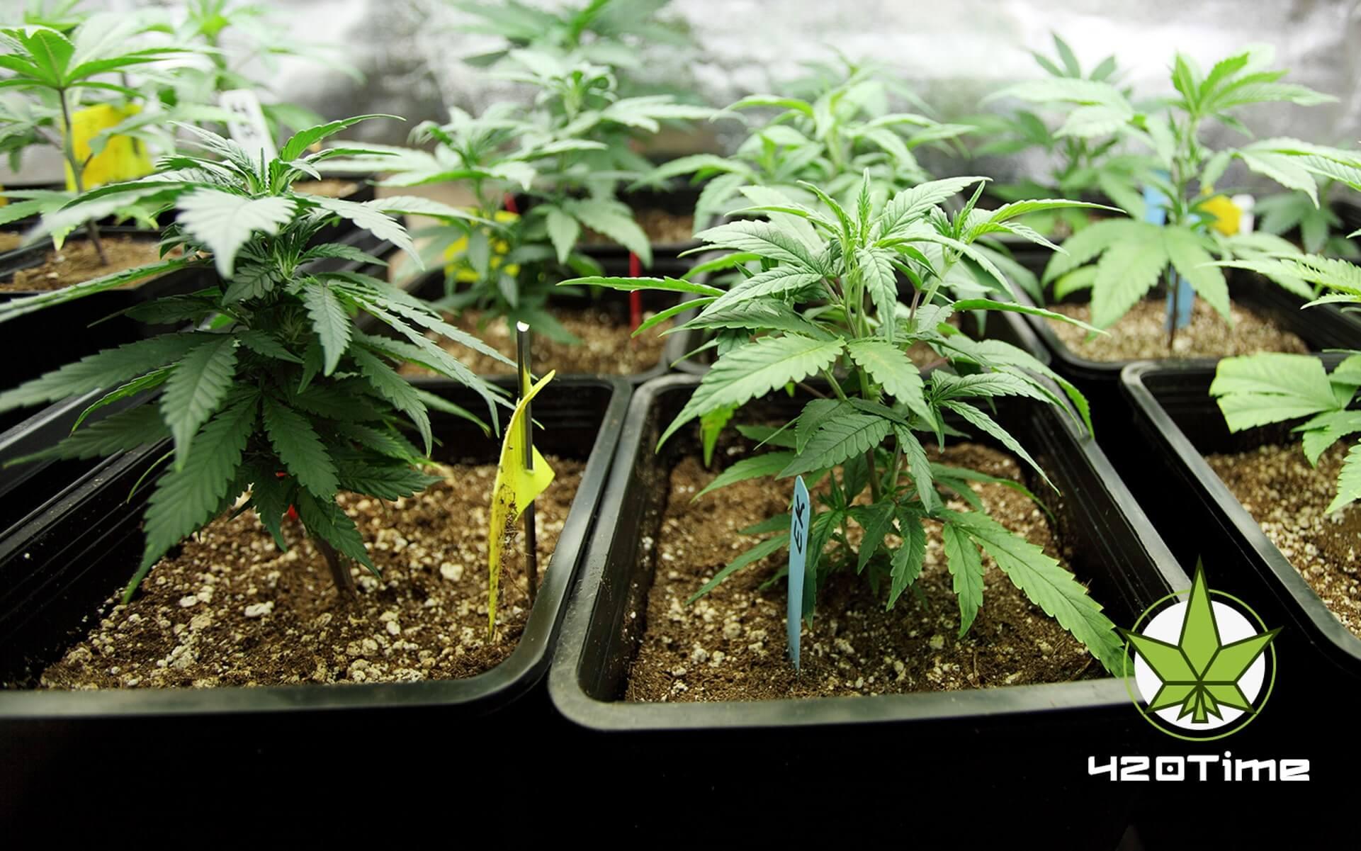 Самые убойные сорта марихуаны