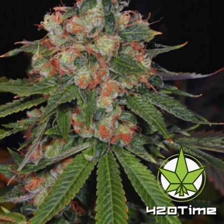 мощные сорта марихуаны