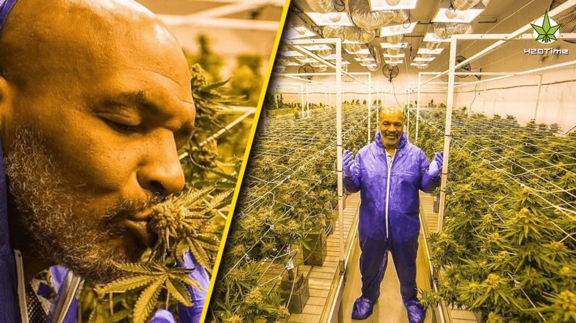 Майк Тайсон откроет марихуановый курорт