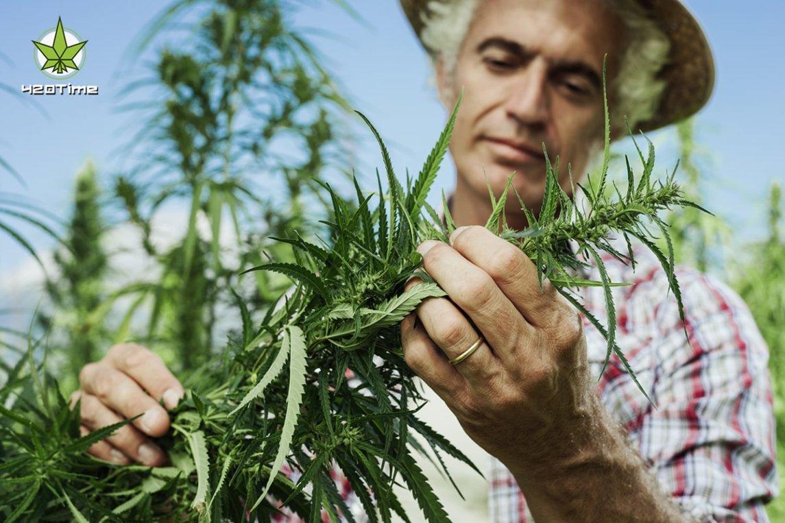 Фермерство медицинской марихуаны в США